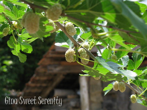 whitemulberrytree